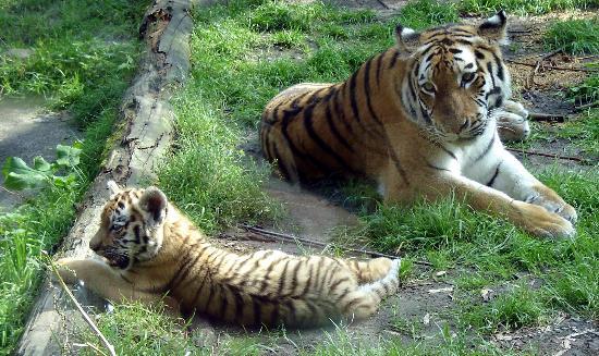 siberian-cats-park